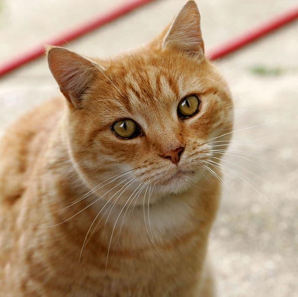 Chat roux en sante