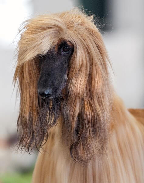 Afghan Show Dog