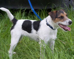 Parson-russell terrier