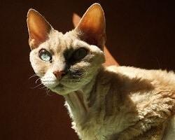 Chat maine coon caract re prix et physique - Prix chat munchkin ...