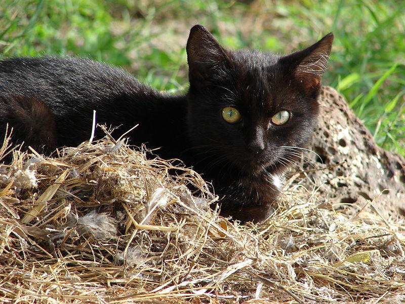 Chat dehors mange de l'herbe