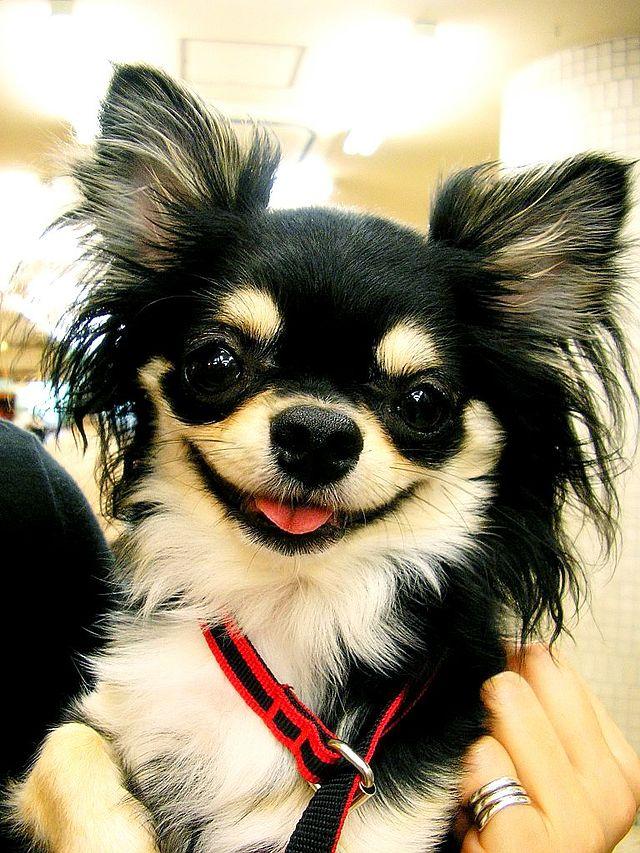 Chihuahua noir poils long