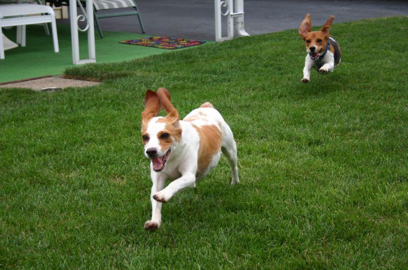 Beagle en course