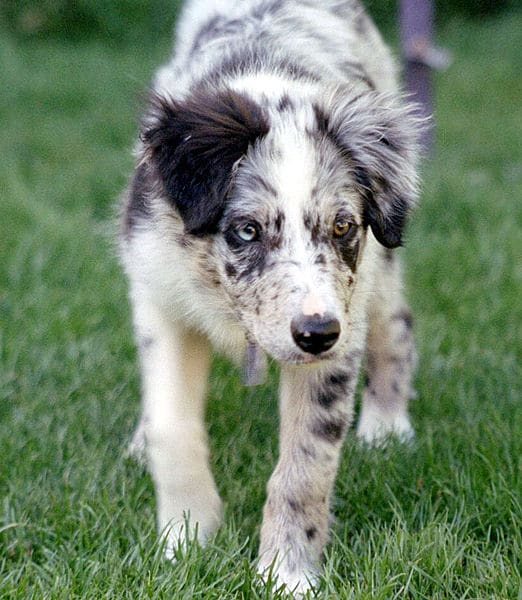 Border collie chiot bleu merle