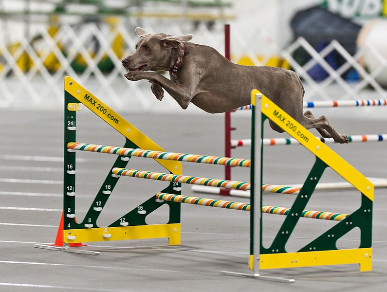 Braque weimar course agility