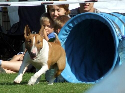Bull-terrier course agilite