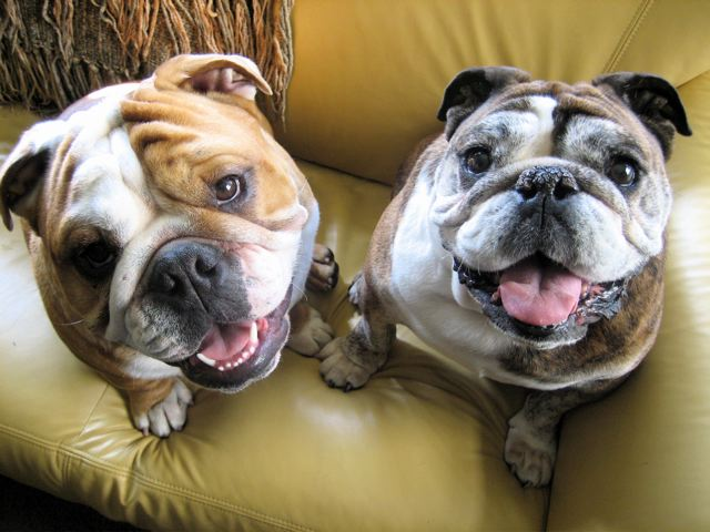 Bulldogs anglais heureux couple
