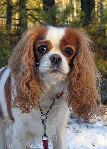 Petit chien cavalier king charles spaniel