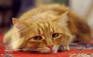 Chat avec leucose feline