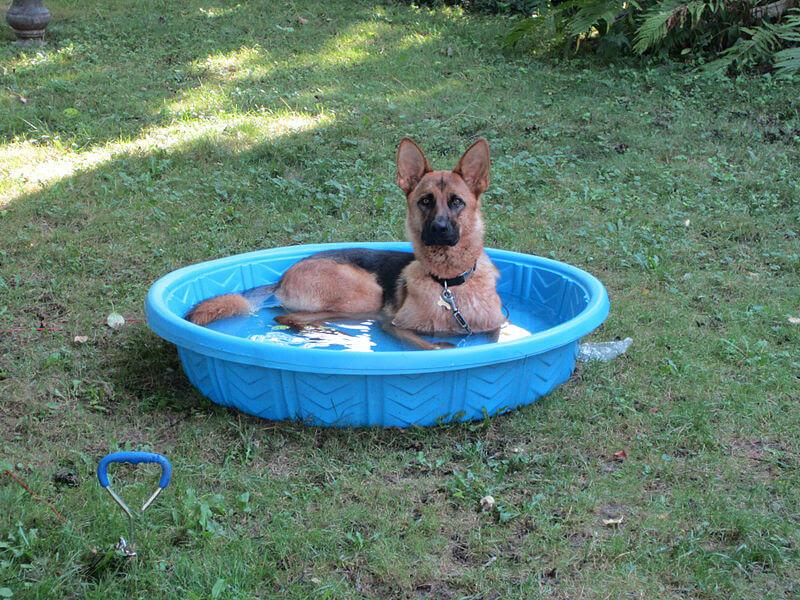 Chien climatisation piscine