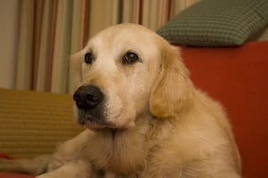Golden retriever cancer