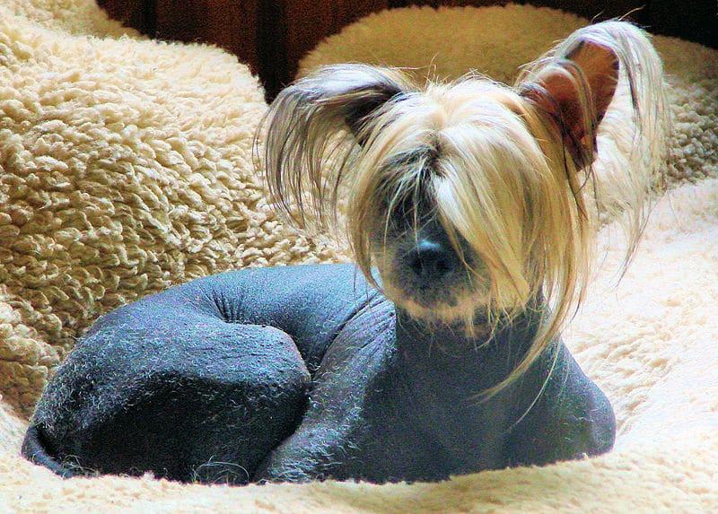 Élevage chien nu chinois