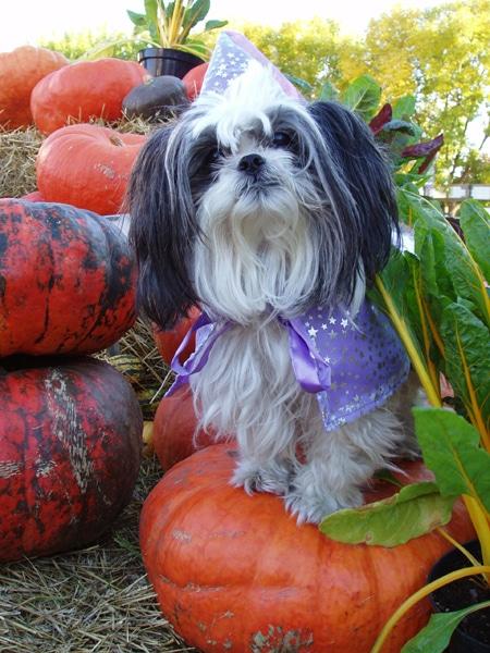 Chien shih tzu avec costume d'Halloween