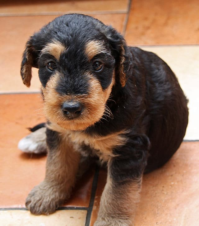 Chiot airedale terrier elevage