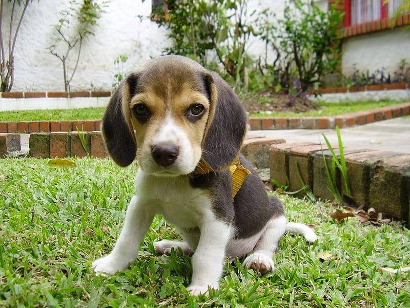 Chiot beagle élevage