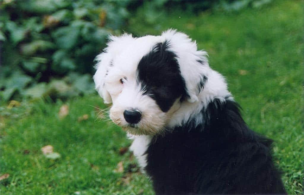 Chiot bobtail blanc et noir