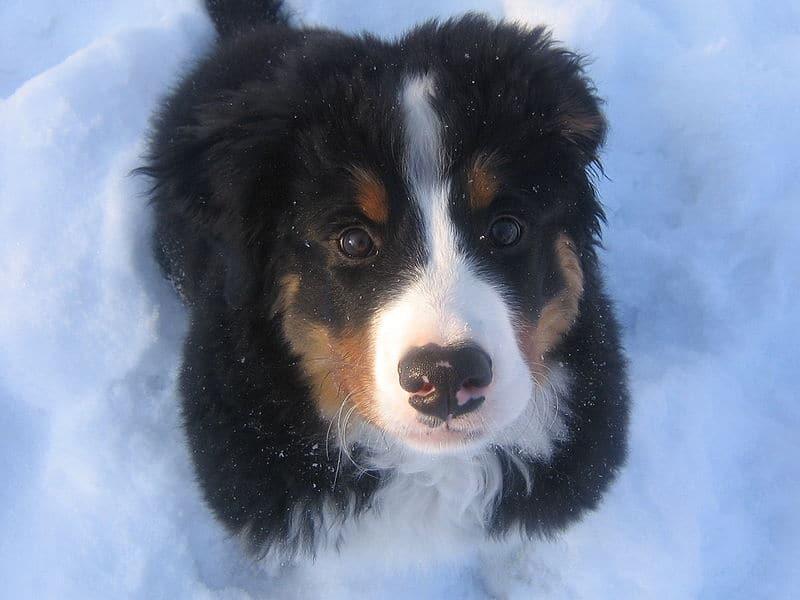 Chiot bouvier bernois dans la neige