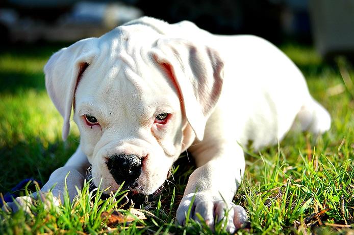 Chiot boxer blanc mignon