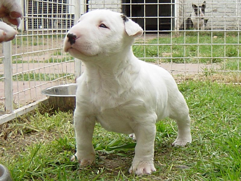 Chiot bull terrier elevage