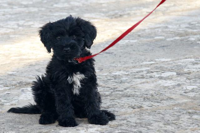 Chiot chien d'eau portugais noir