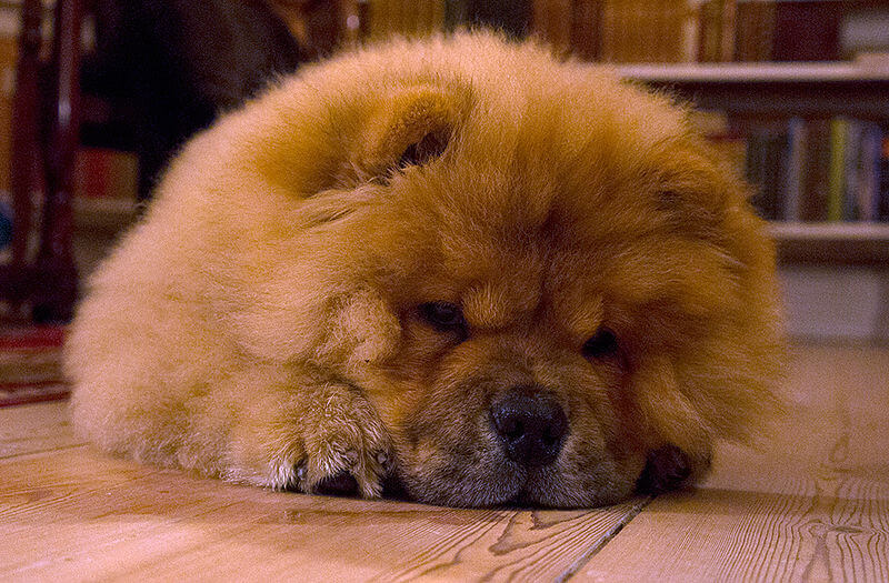 Chiot chow chow couche