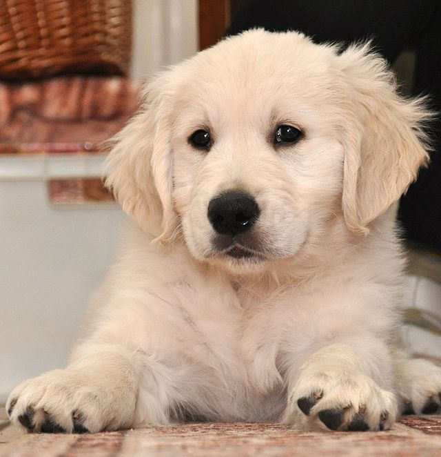Chiot golden retriever mignon
