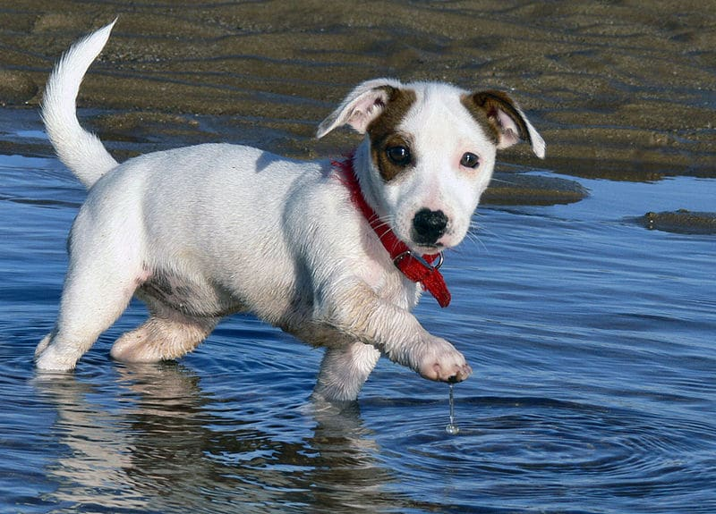 Chiot jack russell elevage