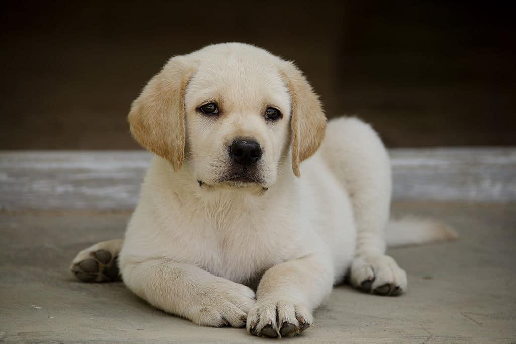 Chiot labrador-retriever