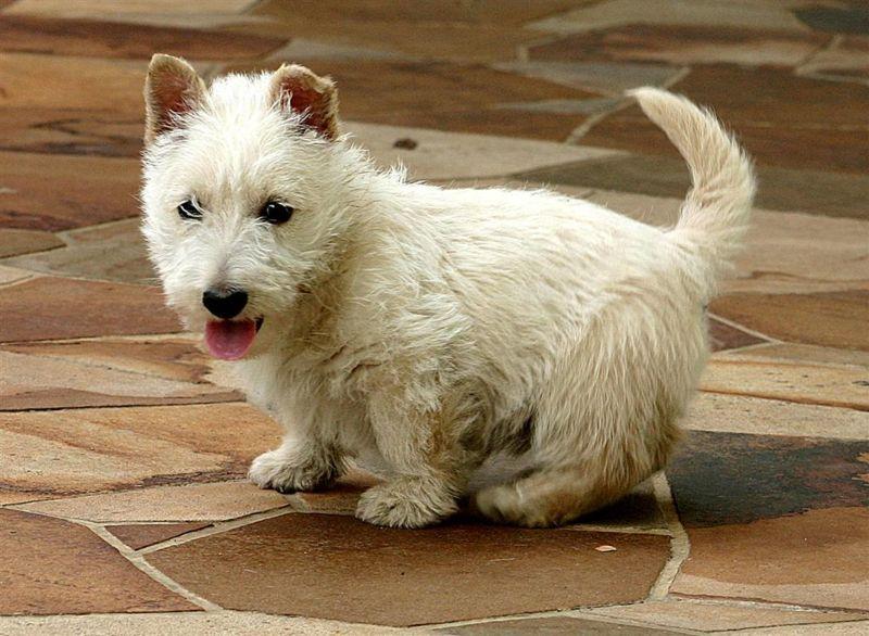 Chiot scottish terrier blanc