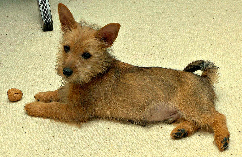 Chiot terrier australien
