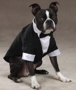 Complet pour chien Boston Terrier