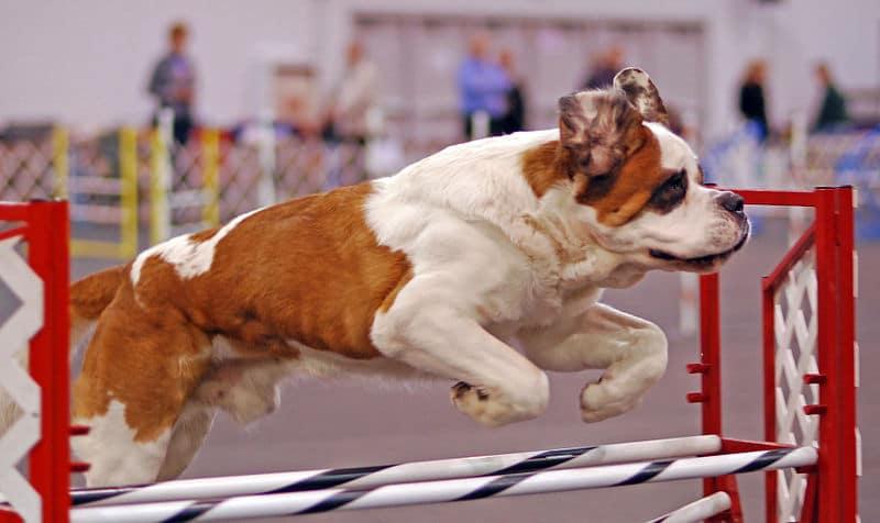 Course d'agility chien de saint-bernard