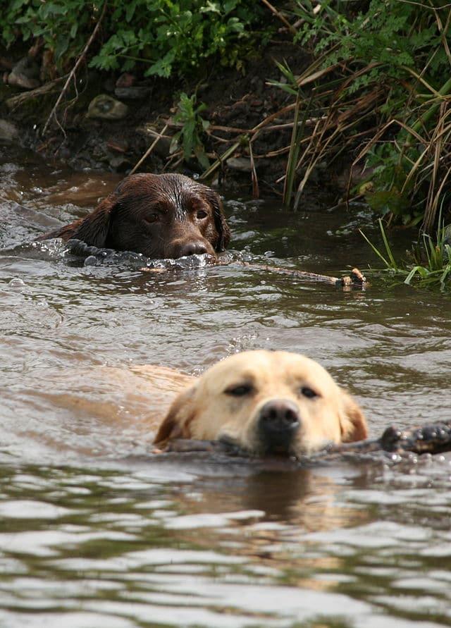 Deux chiens labradors qui nagent