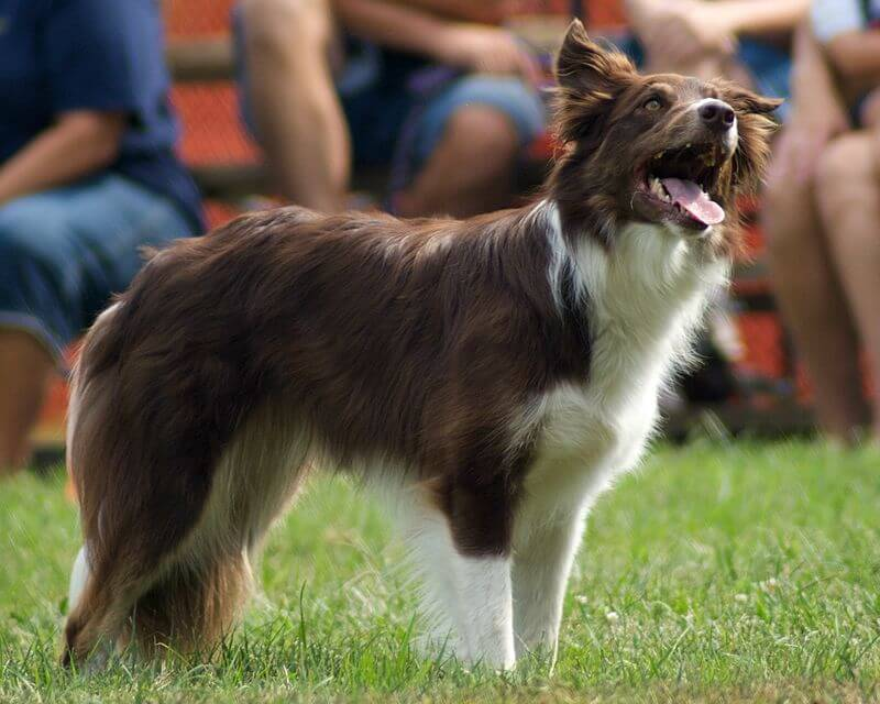 Diabete chien border collie