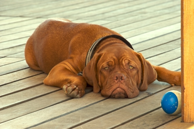 Dogue de bordeaux adulte