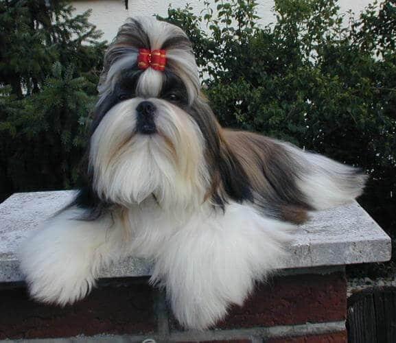 Dysplasie rénale chien shih tzu