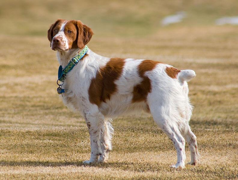 Häufig Races de chiens de chasse | Lebernard PQ36