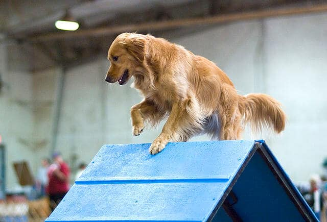 Golden retriever competition agility