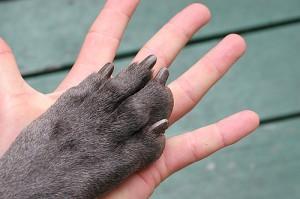 Couper les griffes d 39 un chien lebernard - Couper les griffes d un chiot ...