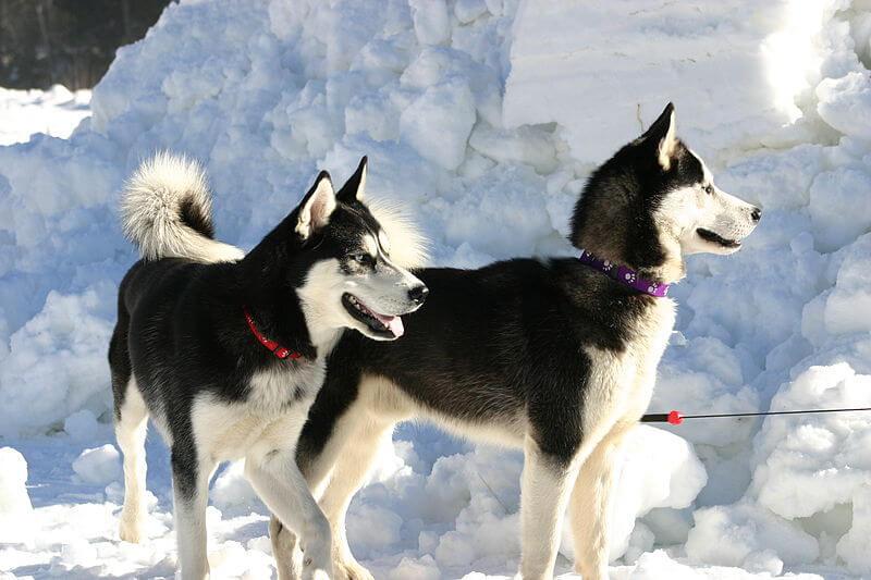 Husky siberien noir et blanc
