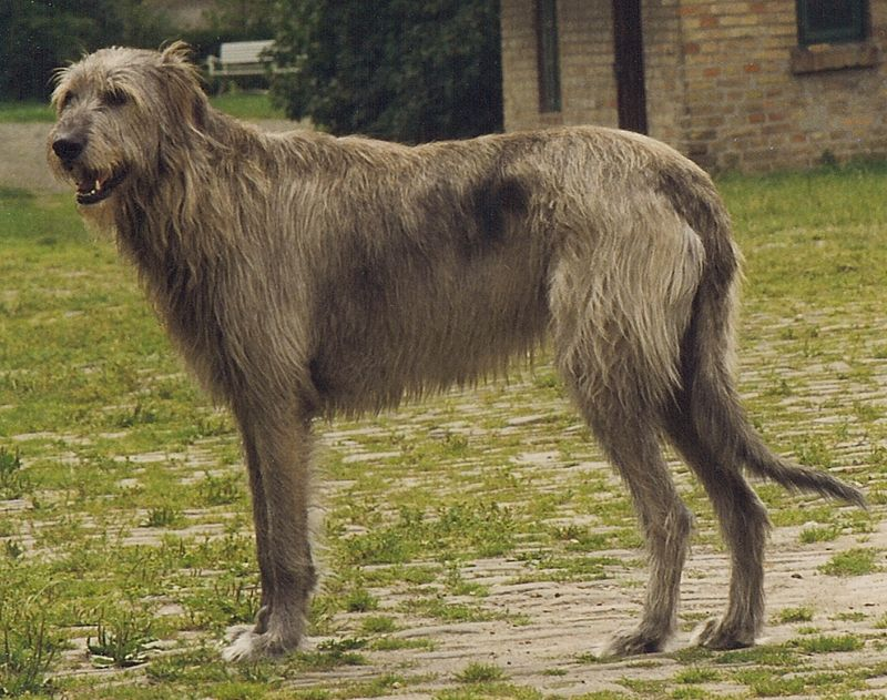 Irish wolfhound gris