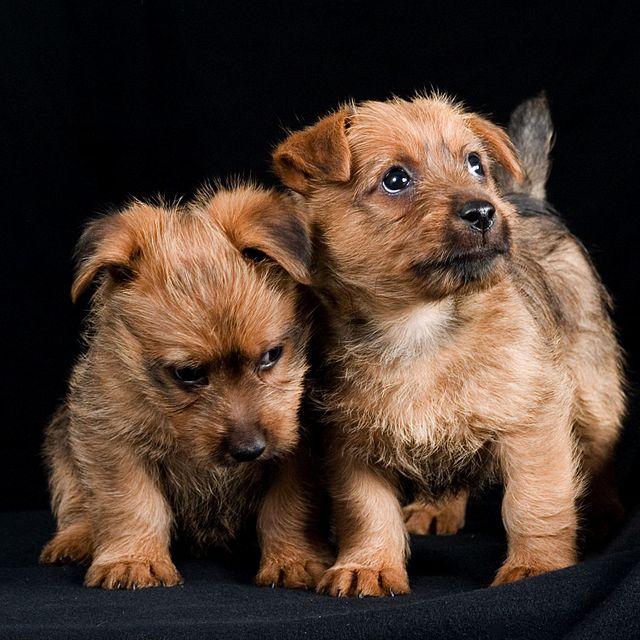 Jeunes australian terriers mignons