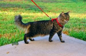 Harnais pour chat promenade
