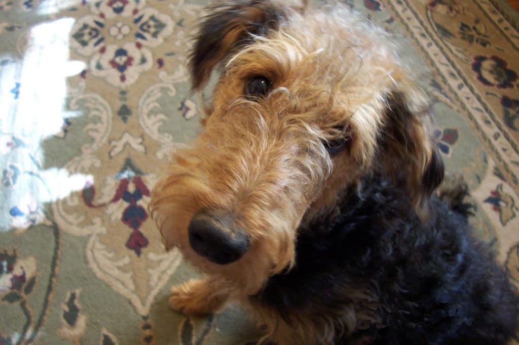 Airedale terrier chien en A