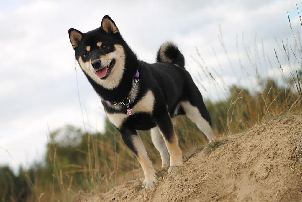 Shiba inu noir et sable