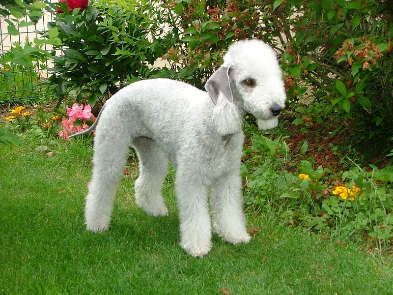 Terrier bedlington blanc