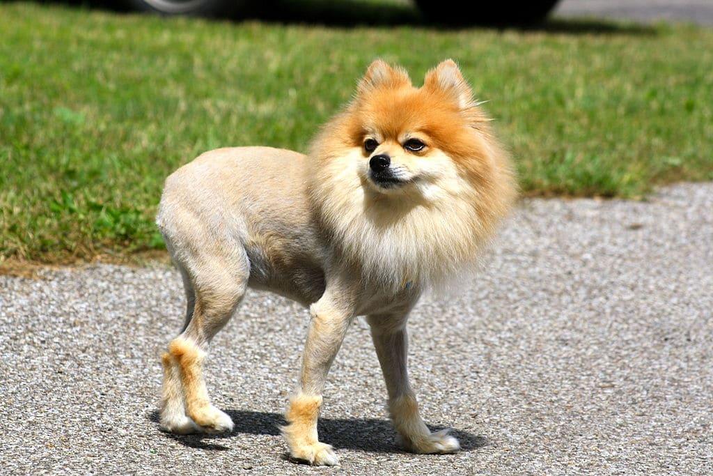Petit chien tondu