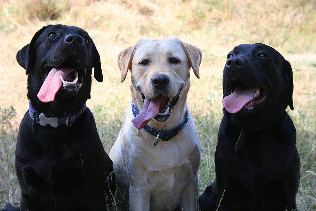Trois labradors-retrievers