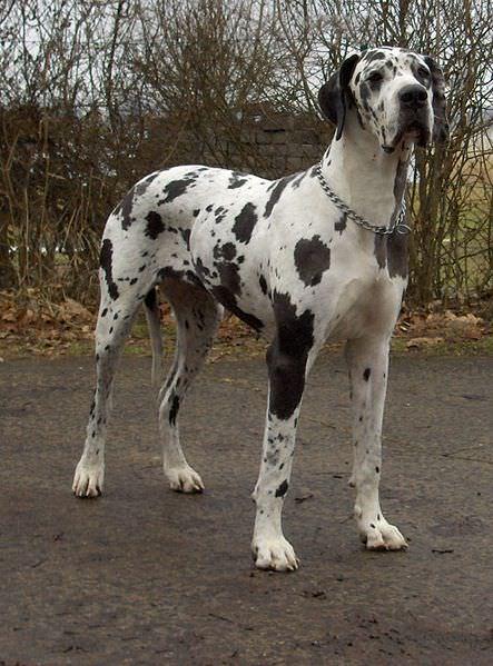 Gros chien grand danois
