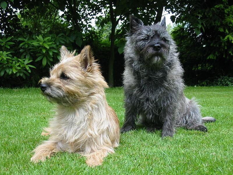 Cairn terrier noir et fauve
